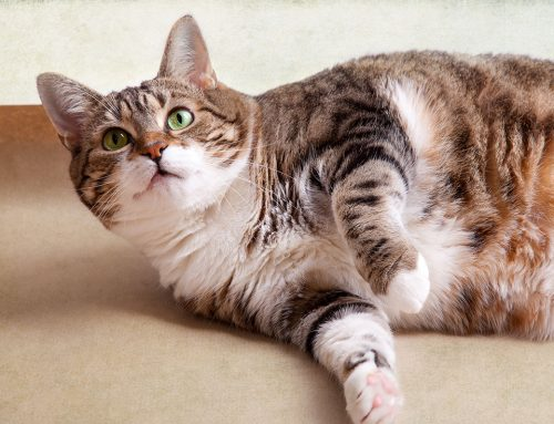 The Skinny On How We Help Fat Cats and Dogs