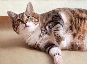 acupet-blog-fat-cat